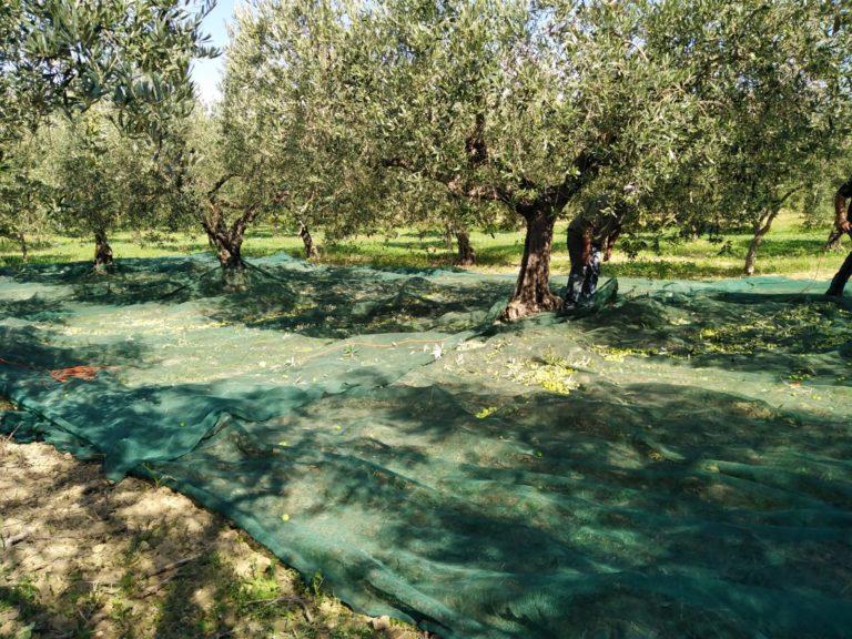 Oro verde dei Monti Sicani, un perfetto connubio tra tradizione e rispetto della natura. L'INTERVISTA